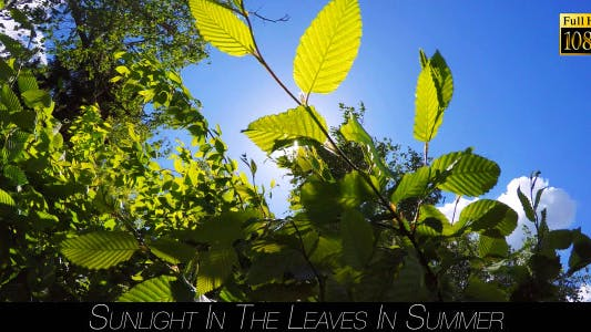 Thumbnail for Sunlight In The Leaves In Summer