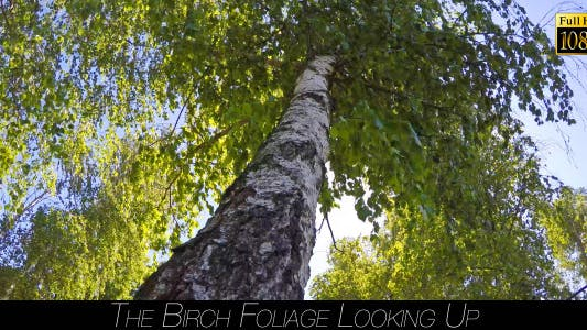 The Birch Foliage Looking Up