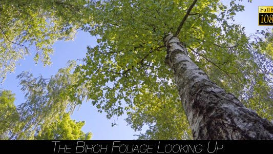 Cover Image for The Birch Foliage Looking Up 2