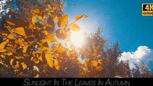 Sunlight In The Leaves In Autumn