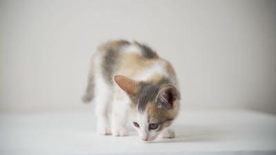 Whitegrayred Kitten Isolated on White Background