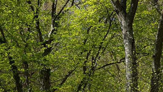 Thumbnail for Spring Beech Forest
