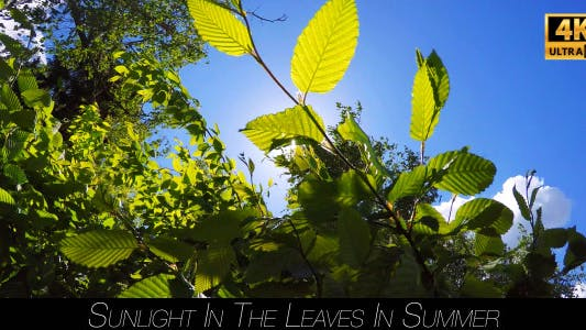 Cover Image for Sunlight In The Leaves In Summer