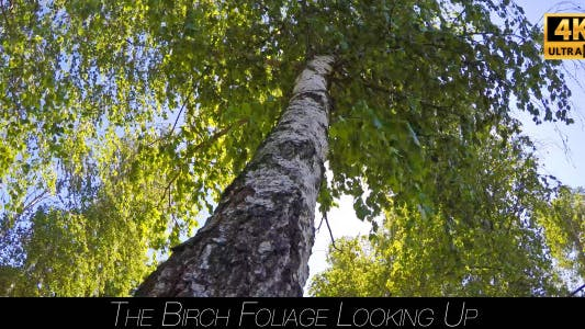 Thumbnail for The Birch Foliage Looking Up