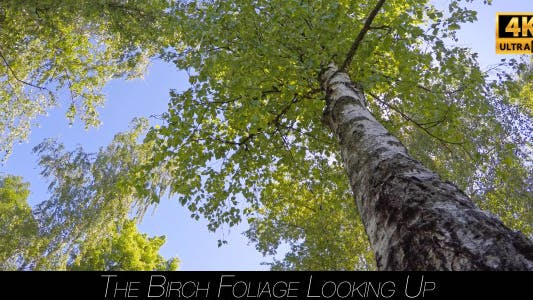 Thumbnail for The Birch Foliage Looking Up 2