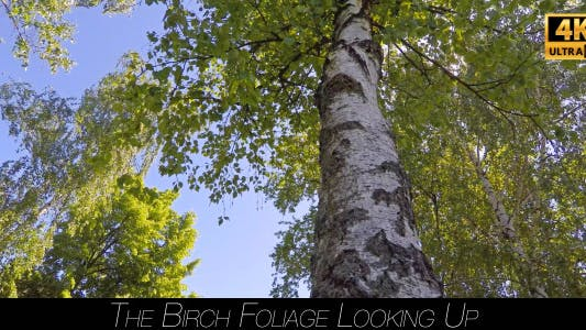 Thumbnail for The Birch Foliage Looking Up 3