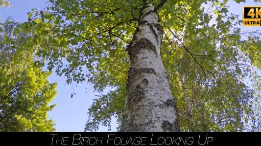 Thumbnail for The Birch Foliage Looking Up 4