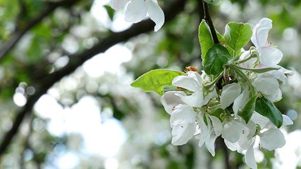 Thumbnail for Apple Tree Flower Bright White Illuminated