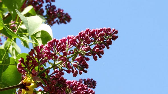 Thumbnail for Lilac Flowers Against The Blue Sky