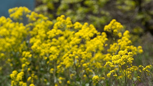 Yellow Wildflowers in Spring Time