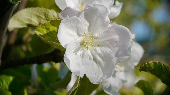 Thumbnail for Apple Flowers 4