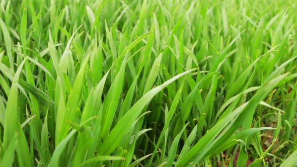 Thumbnail for Fresh Green Wheat Grass