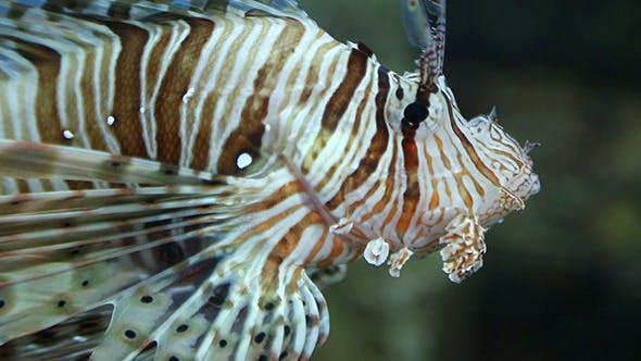 Thumbnail for Lionfish Zebrafish Underwater