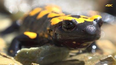 Reptile Animal Fire Salamander 1