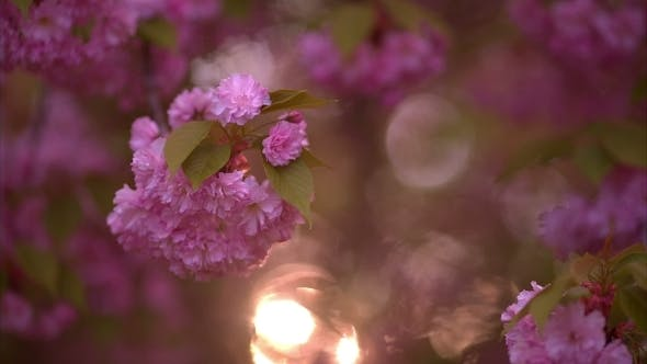 Thumbnail for Blooming Tree In Spring With Pink Flowers