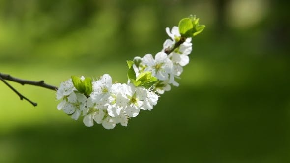 Thumbnail for Blooming Tree In Spring With White Flowers