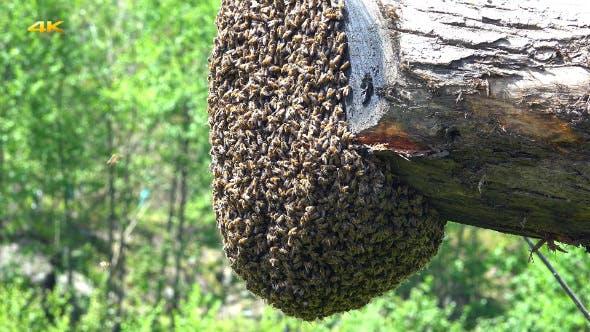 Thumbnail for Honey Bee Swarming