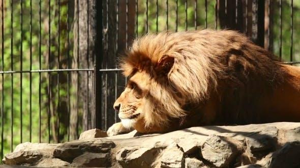 Roi des Bêtes.