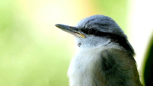Nuthatch Sitting And Peeps