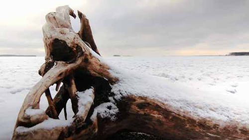 Old Snag On The Coast Of A Frozen Lake
