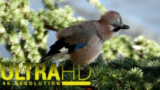 Thumbnail for Jays Bird During the Breeding Season 10