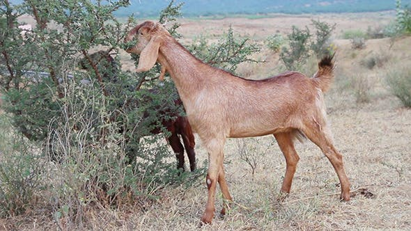 Thumbnail for Grazing Goats In India