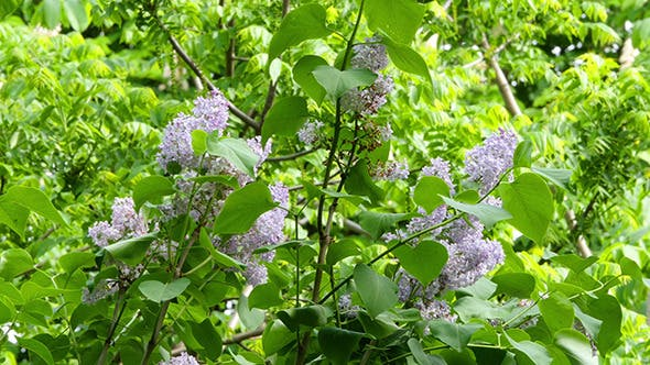 Thumbnail for Lilac Flowers In The Thickets Of Greenery