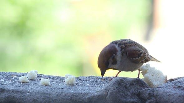 Sparrow Pecks Bread Crumbs