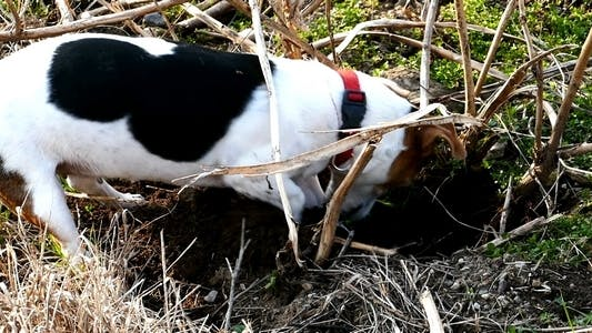 Thumbnail for Jack Russell Terrier Digging a Hole in the Land 4
