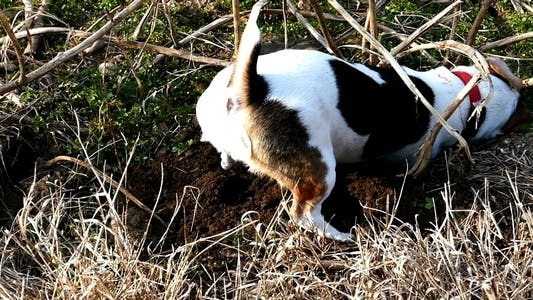 Thumbnail for Jack Russell Terrier Digging a Hole in the Land 6