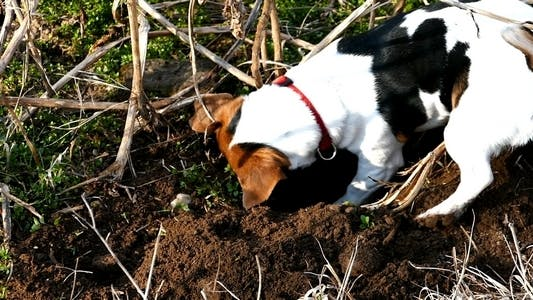 Thumbnail for Jack Russell Terrier Digging a Hole in the Land 7