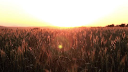 Thumbnail for Cereal Field Sunset