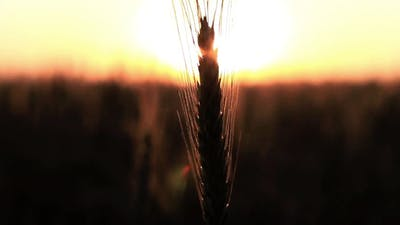 Spikelet And Sun Flare