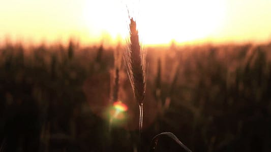 Thumbnail for Spikelet At Sunset