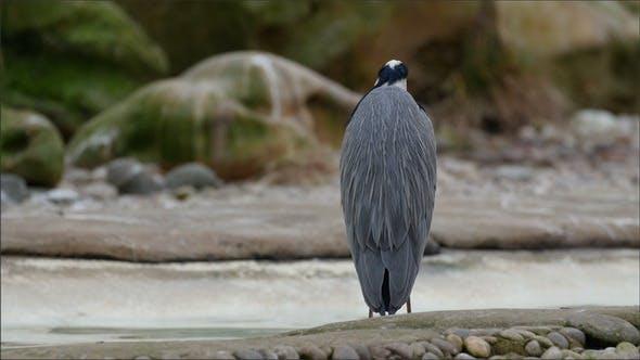 Un héron gris debout sur le rocher