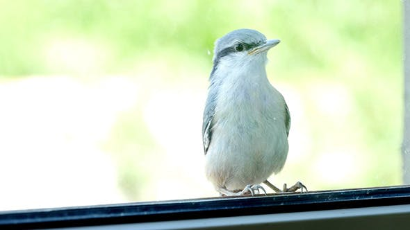 Thumbnail for Nuthatch Sitting And Peeps  Near The Window