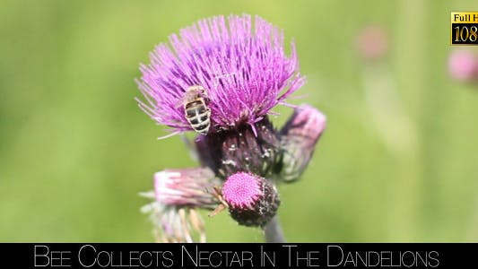 Cover Image for Bee Collects Nectar In The Dandelions 24