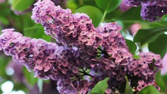 Cover Image for Lilac Flowers In The Garden 1