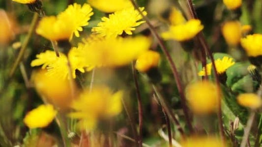 Thumbnail for Spring Meadow With Yellow Flowers 1