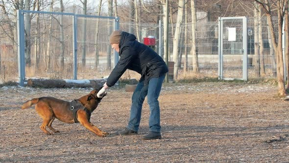 Thumbnail for A Trained German Shepherd Dog Biting the Stick in Trainer Hands
