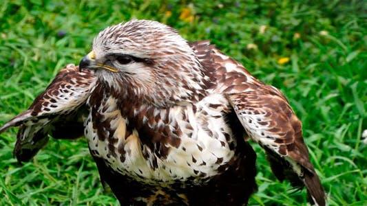 Thumbnail for Bird & Eagle