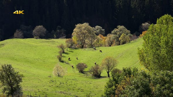Thumbnail for Herd of Cows on Pasture Meadow