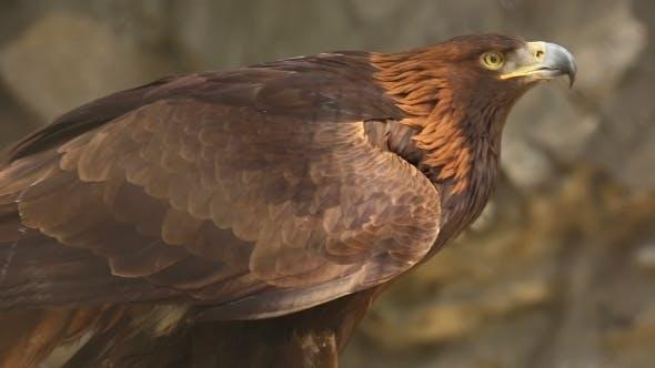 Thumbnail for Golden Eagle