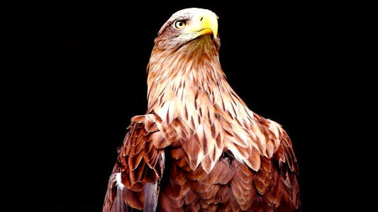 Thumbnail for Eagle