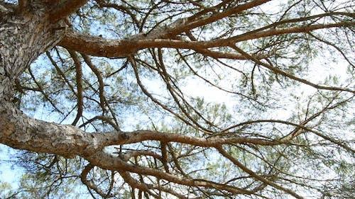 Zweige der Kiefer