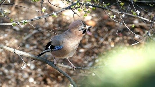 Thumbnail for Jays Bird During the Breeding Season 6