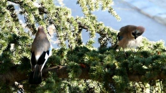 Two Jays Birds During the Breeding Season 1