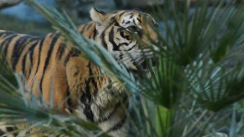 Sumatran Tiger Approaching