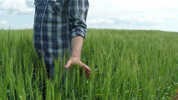 Thumbnail for Farmer in a Wheat Field