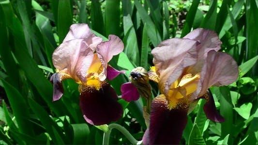 Thumbnail for Irises 2